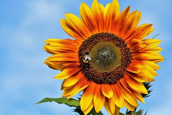 How To Enjoy Sunflowers For Longer